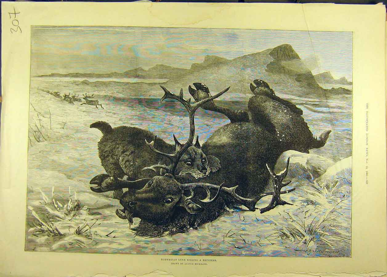 Print 1885 Norwegian Lynx Reindeer Hunt Wild-Animals 078681 Old Original