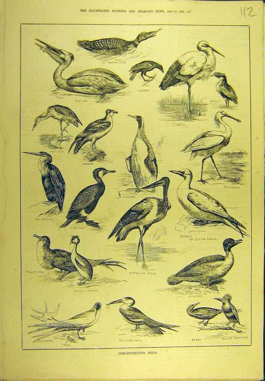 Print 1884 Fish-Destroying Birds Penguin Tern Stork Osprey 128721 Old Original