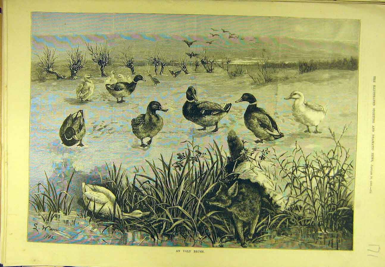 Print 1883 Ugly-Brush Fox Ducks Hunting Wain Sport 718721 Old Original