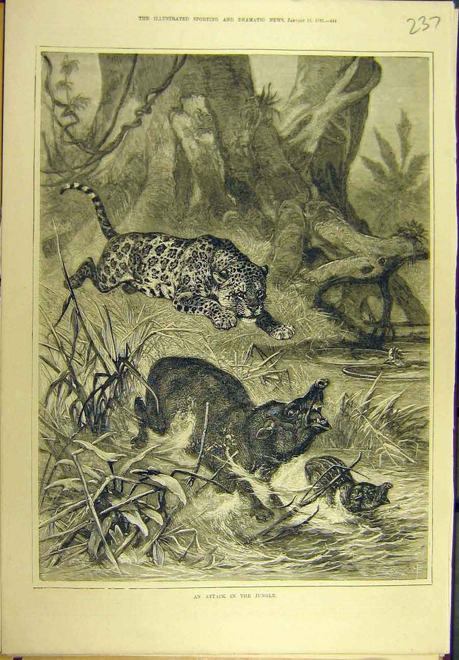 Print 1881 Attack Jungle Leopard Boar Wild-Animal Sport 378721 Old Original