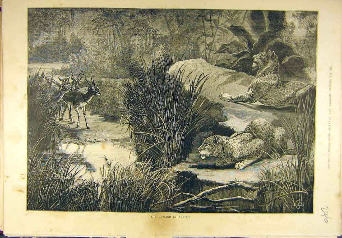 Print 1882 Leopard Ambush Hunting Antelope Buck Wild-Animal 468721 Old Original