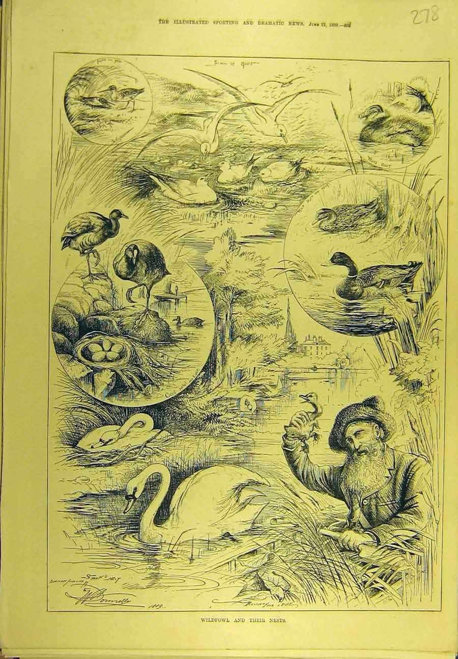 Print 1889 Wildfowl Nests Swan Seagull Duck Coot Sport 788721 Old Original