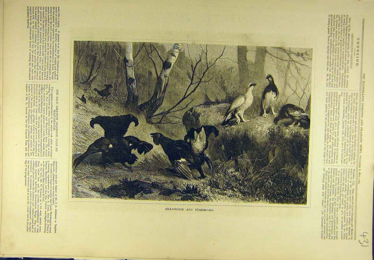 Print 1877 Heathcock Ptarmigan Game-Bird Sport 318721 Old Original