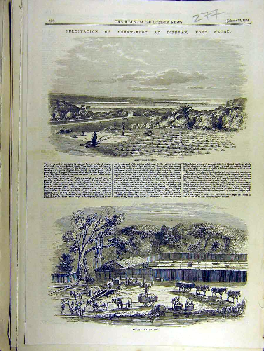 Print 1858 Arow-Root Port-Natal Africa Laboratory 778771 Old Original