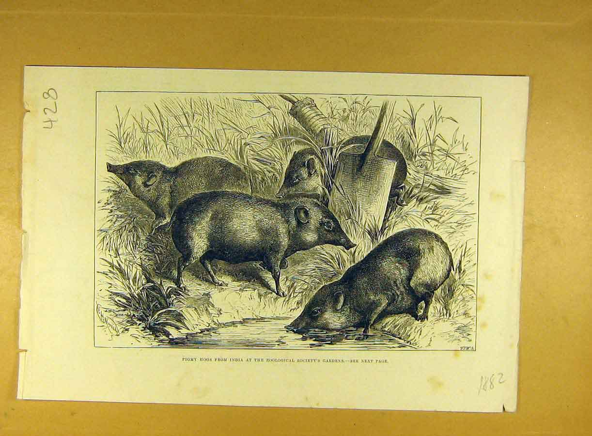 Print 1882 Pigmy Hogs India Zoo Indian Animal 288791 Old Original