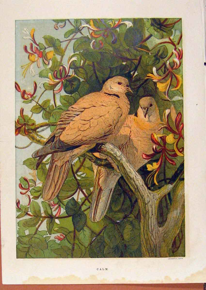 Print Illustrated London Almanack Pigeons Calm Resting 188921 Old Original