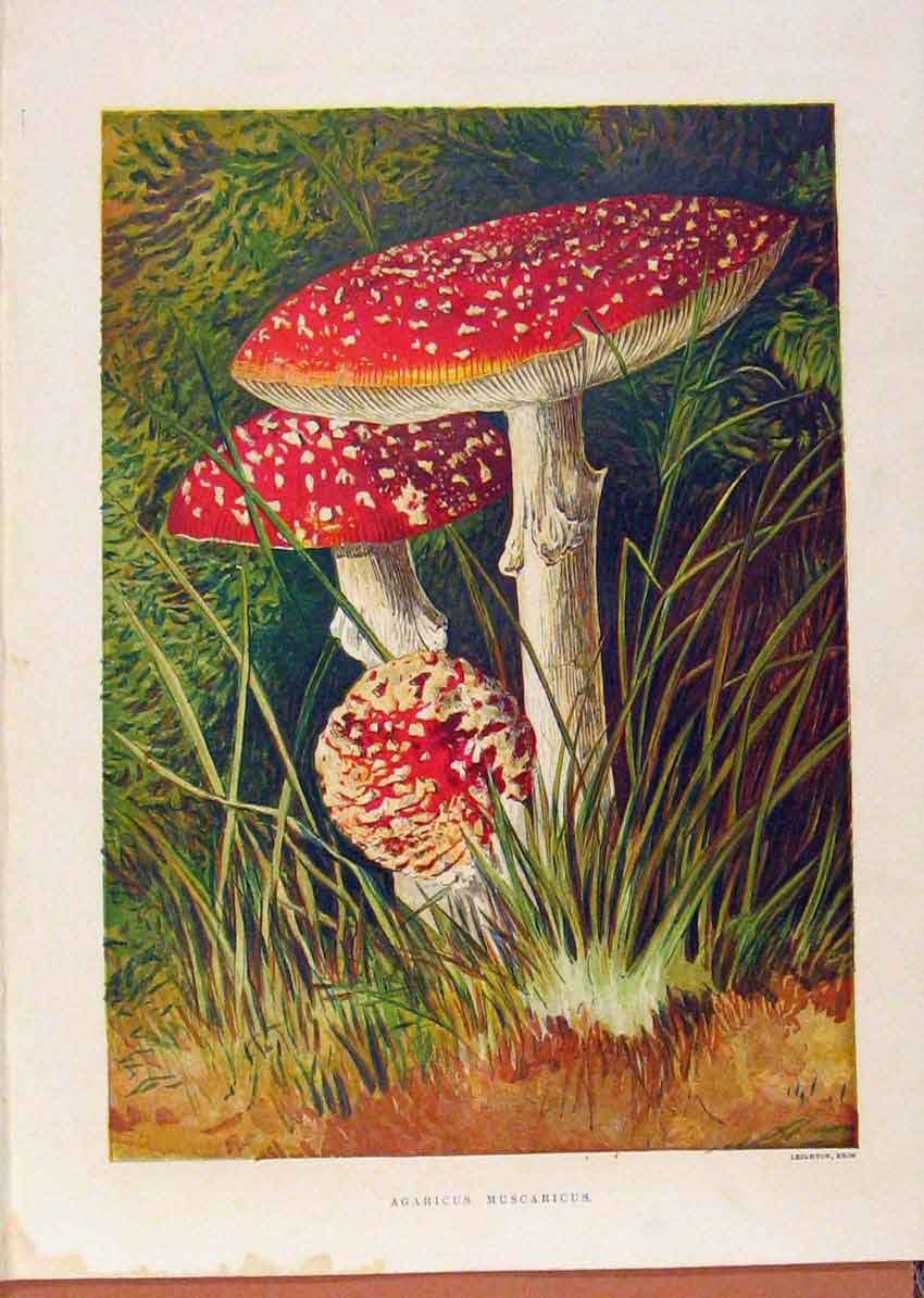 Print Illustrated London Almanack Agaricus Muscaricus 208921 Old Original