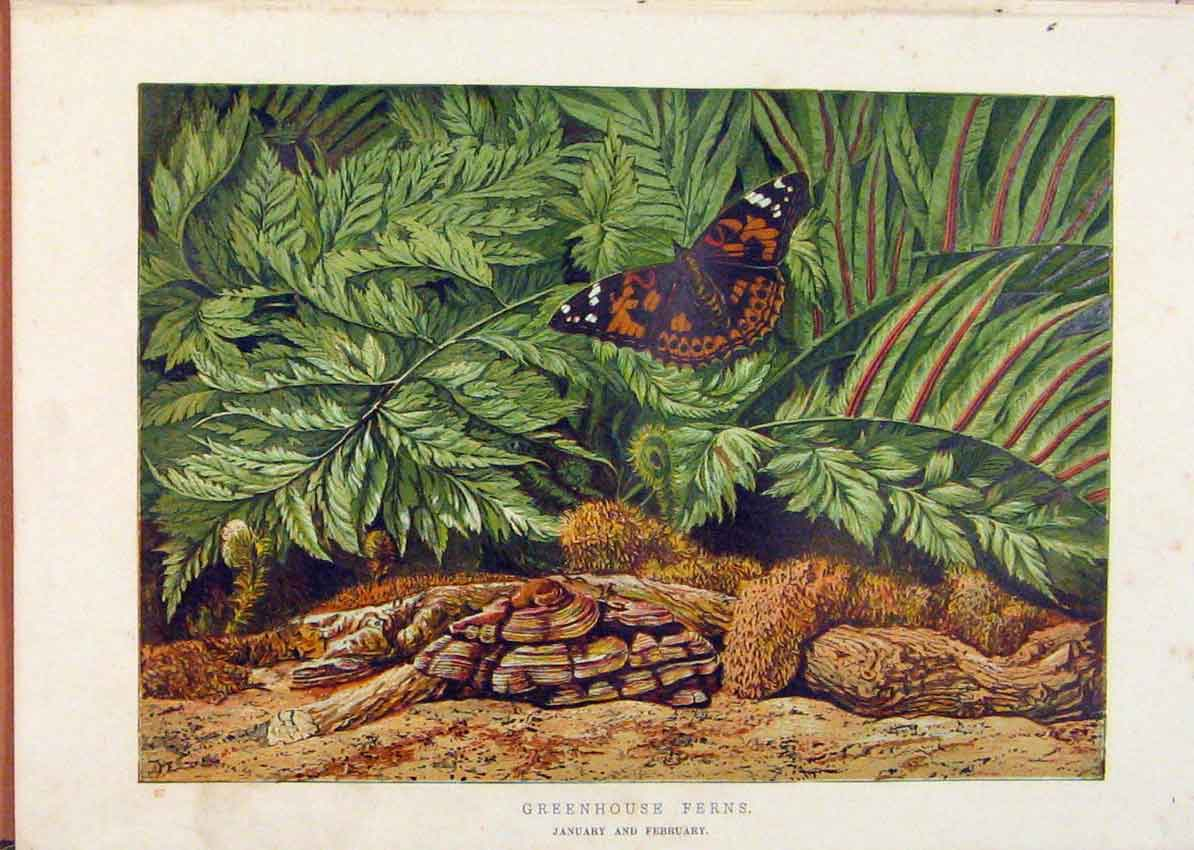 Print Illustrated London Almanack Greenhouse Ferns 558921 Old Original