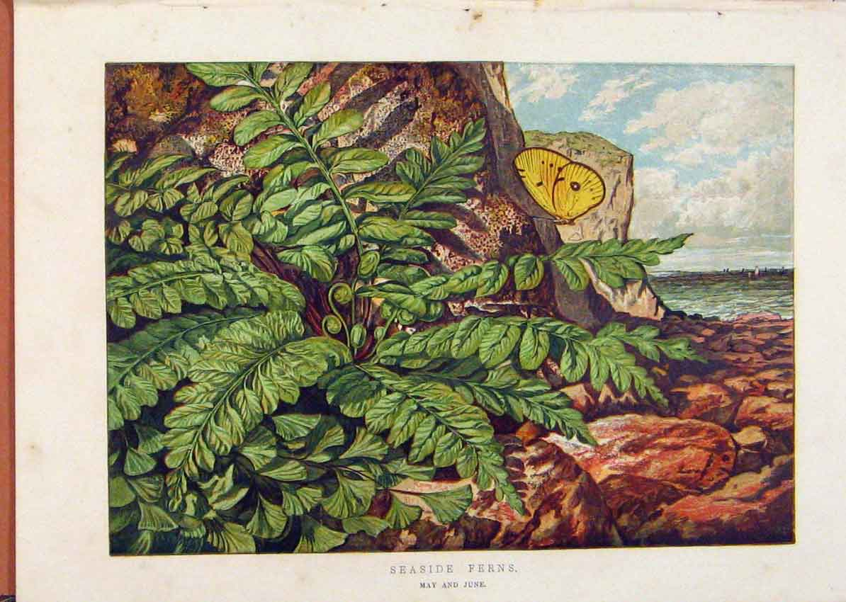 Print Illustrated London Almanack Seaside Ferns Rare Colour 578921 Old Original