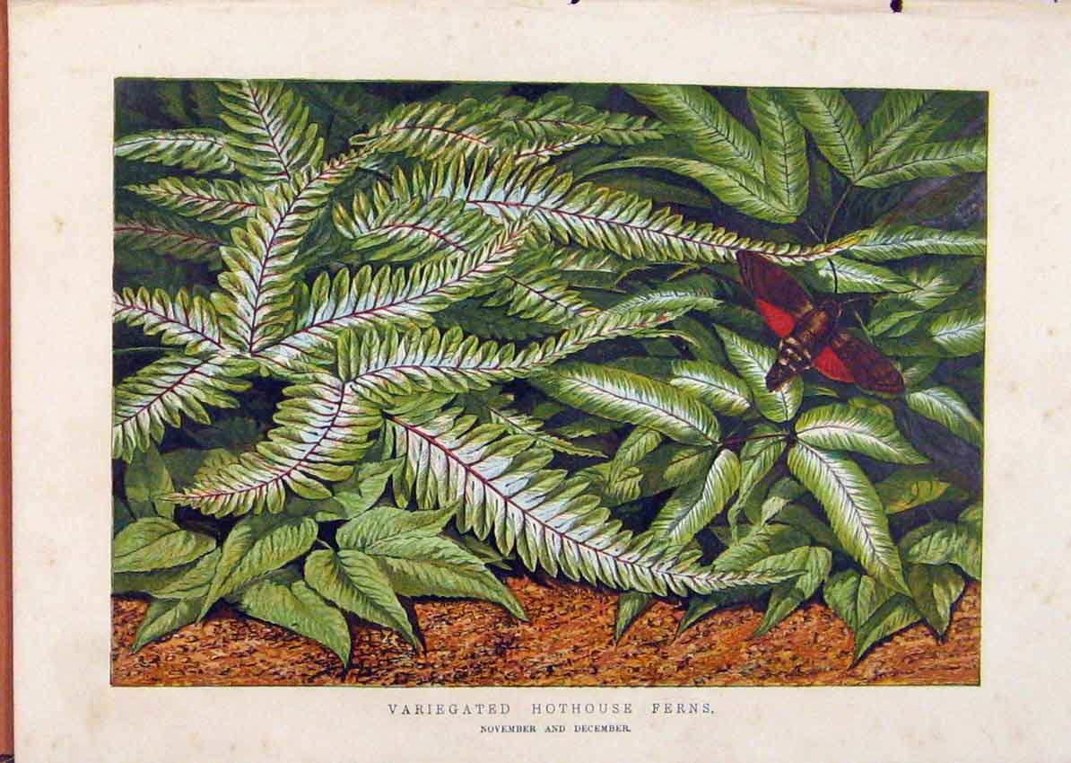 Print Illustrated London Almanack Variegated Hothouse Ferns 608921 Old Original