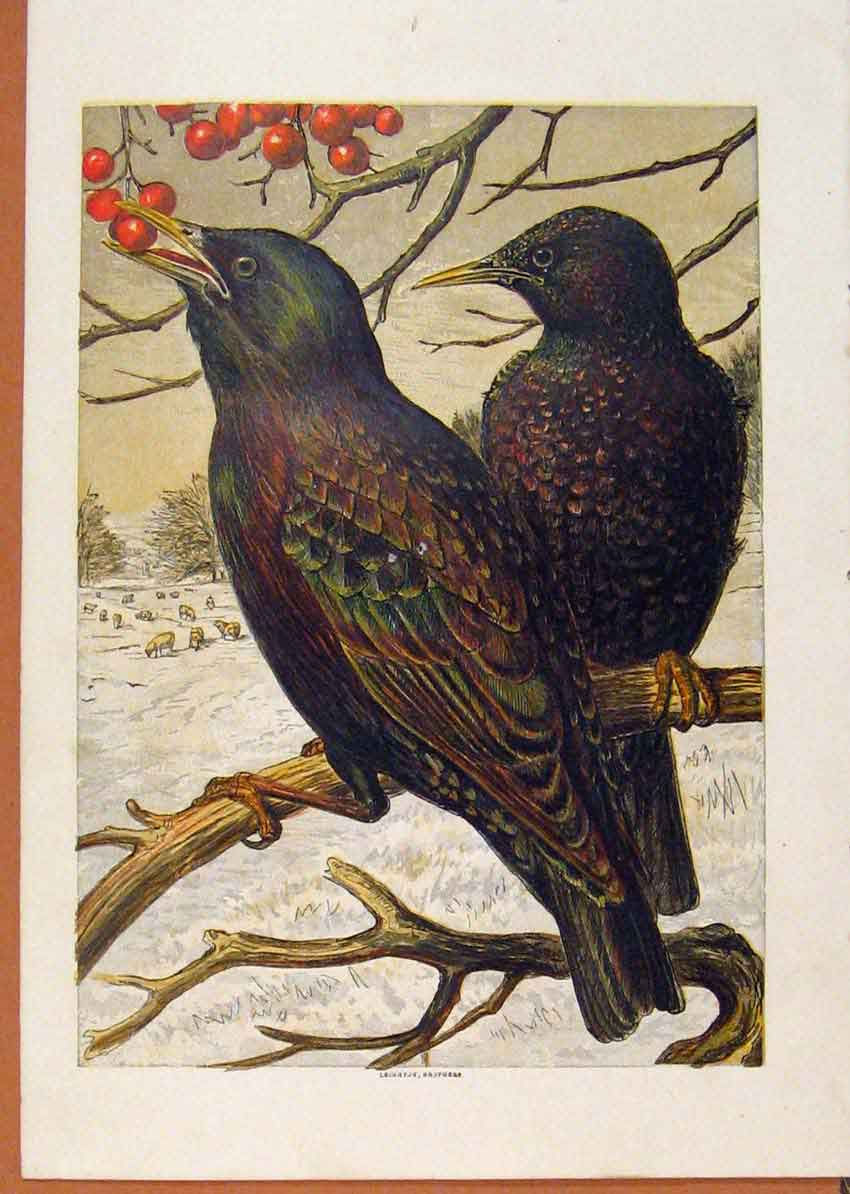 Print Illustrated London Almanack Blackbirds Eating Berrys 718921 Old Original