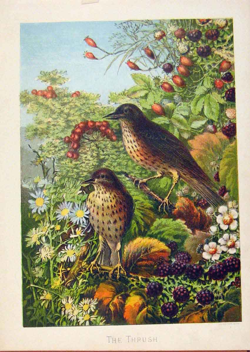 Print Illustrated London Almanack Thrush Birds Rare Colour 058921 Old Original