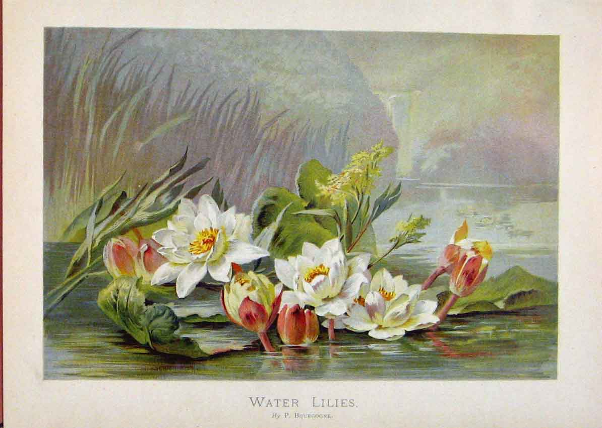 Print Illustrated London Almanack Water Lillies Rare Colour 138921 Old Original