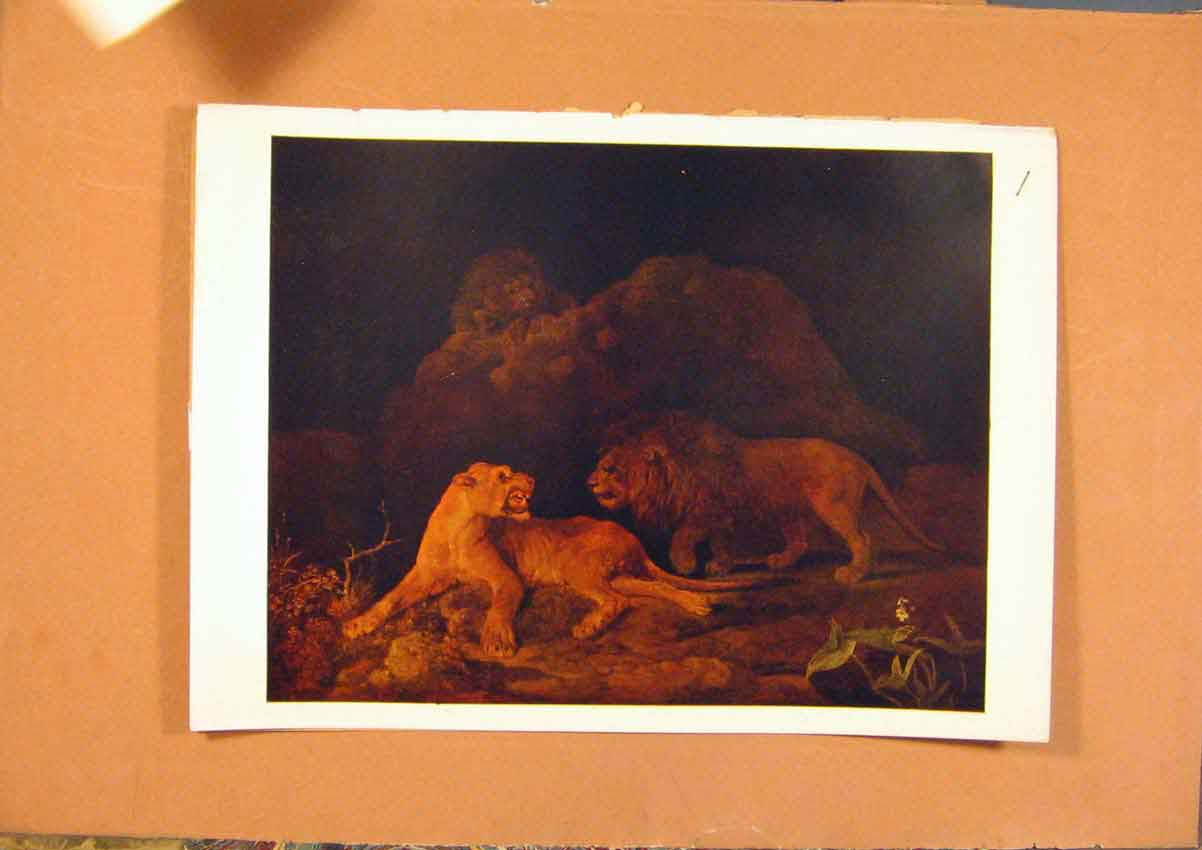 Print C1880-1924 George Stubbs Lioness & Lion 768981 Old Original