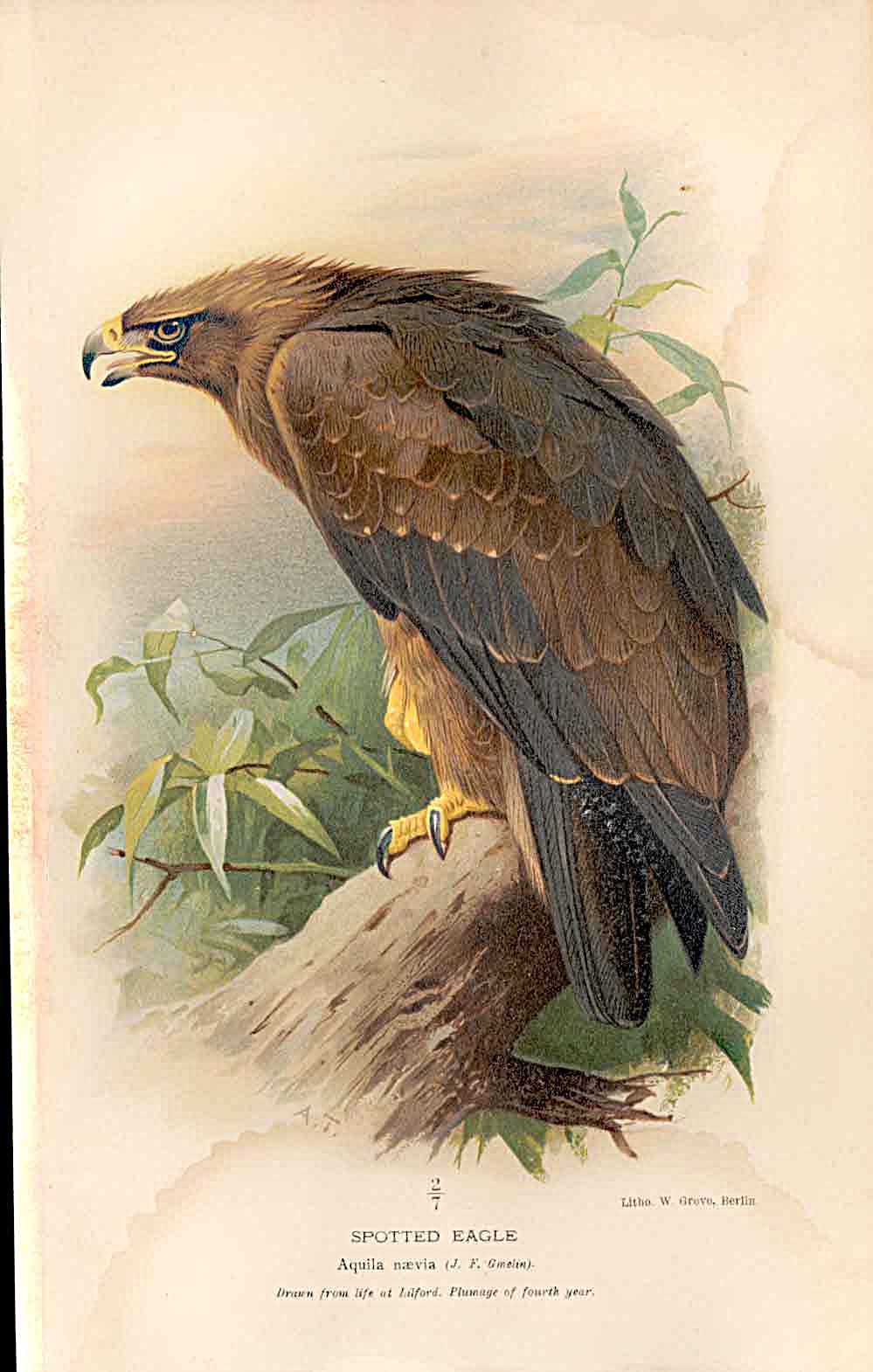 Print Lilford Birds 1885-97 By A Thorburn Spotted Eagle *3 059011 Old Original