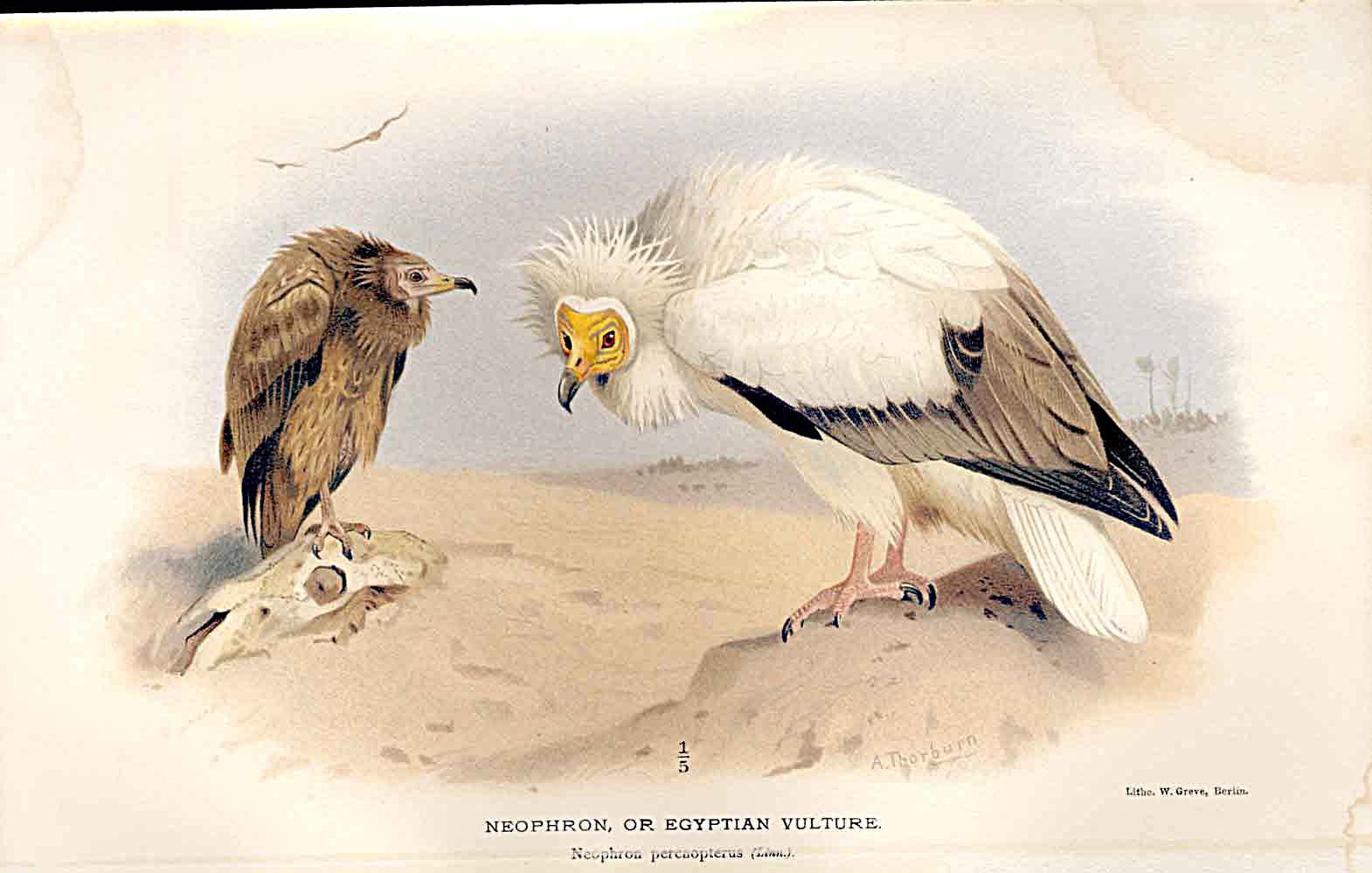 Print Lilford Birds 1885-97 By A Thorburn Egyptian Vulture 839011 Old Original