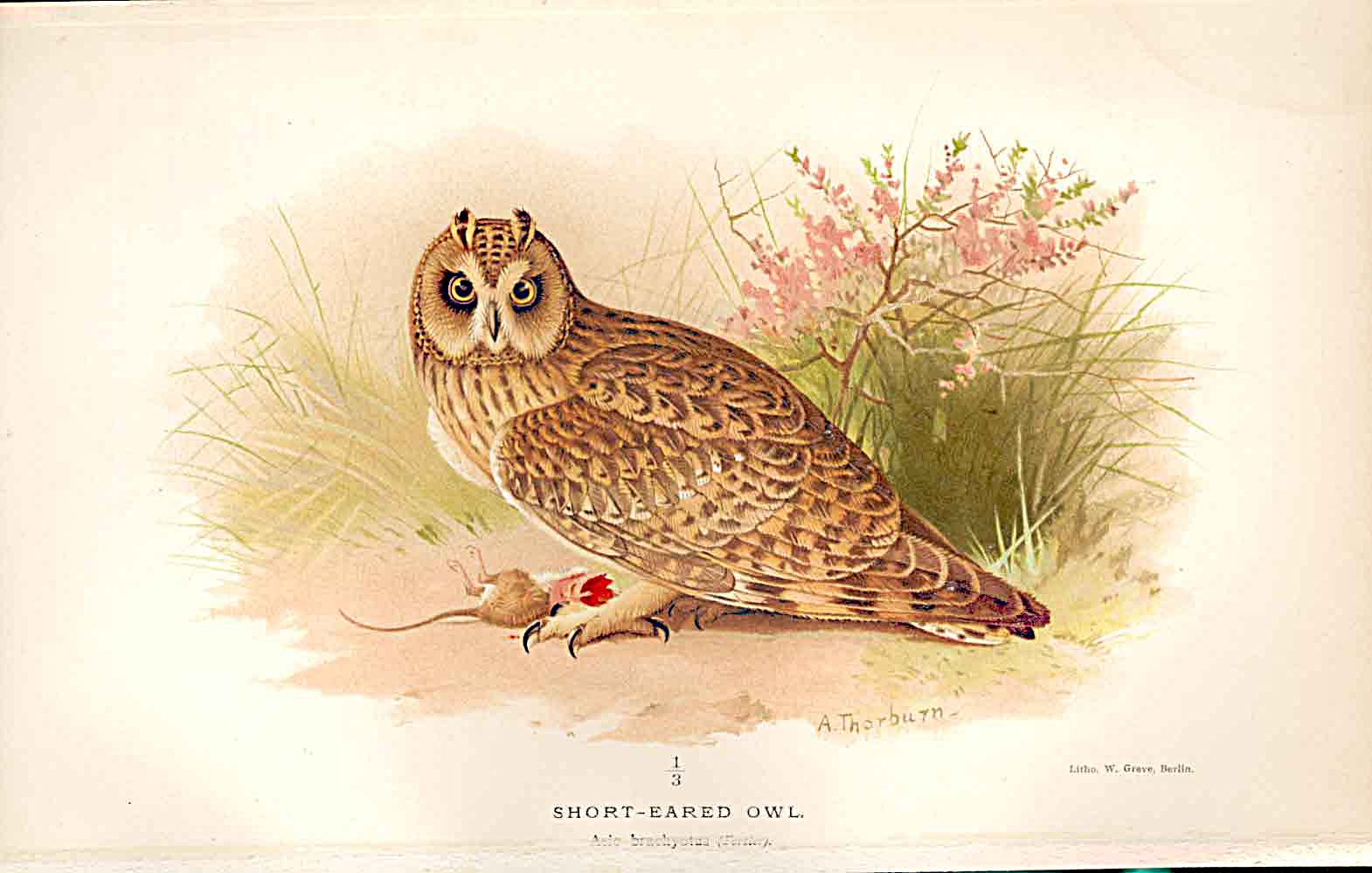Print Lilford Birds 1885-97 By A Thorburn Short Eared Owl 959011 Old Original