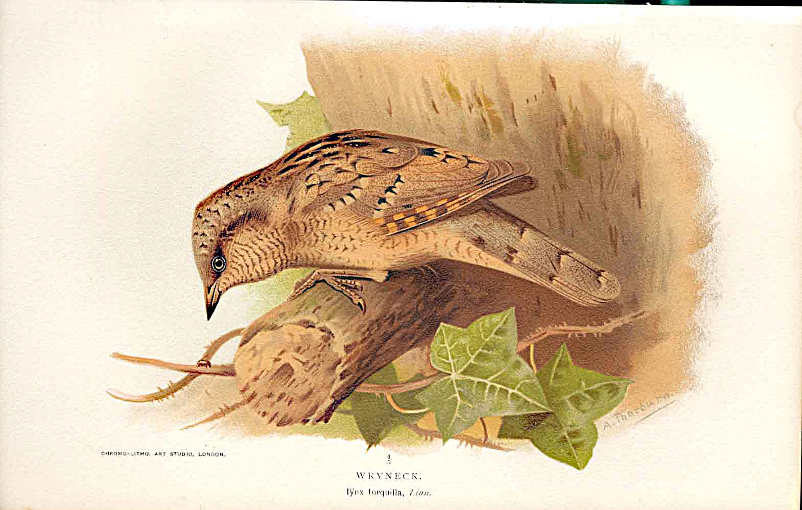 Print Wryneck Lilfords Birds 1885-97 By A Thorburn 059011 Old Original