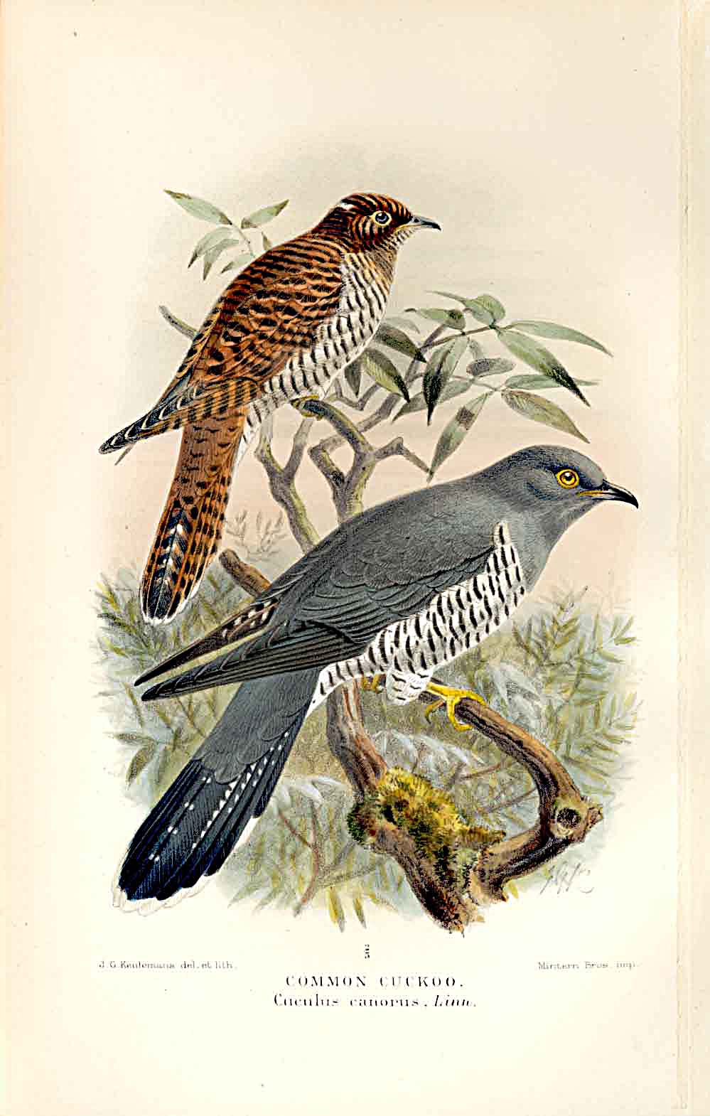 Print Great Spotted Cuckoo By Keulemans 1855-97 Birds 109011 Old Original