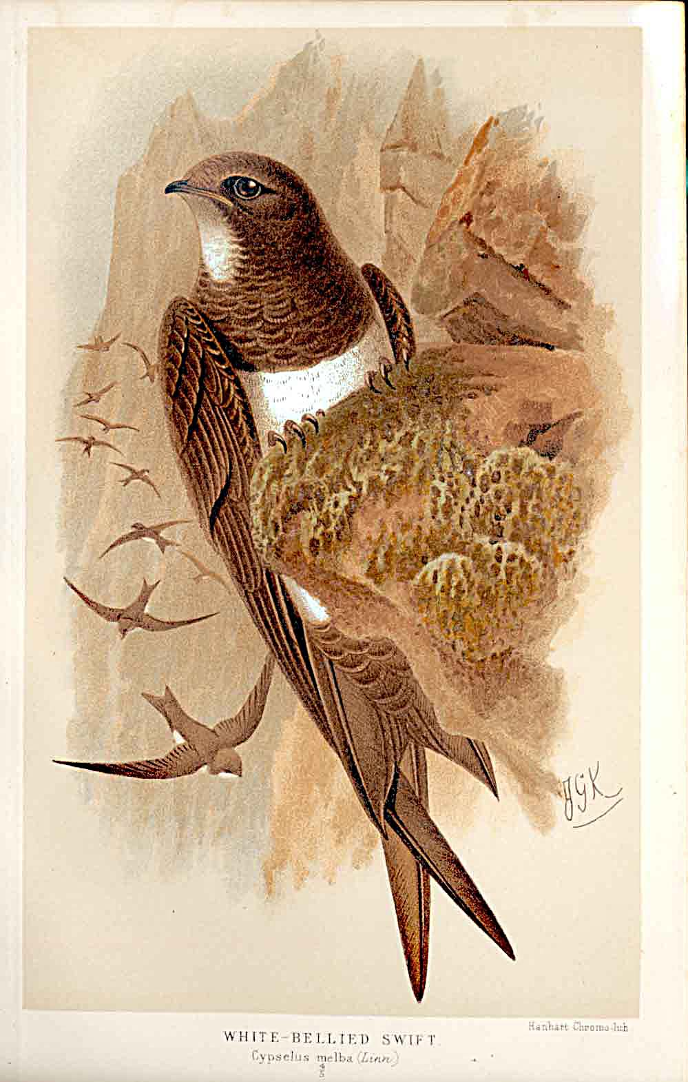Print White Bellied Swift By Keulemans 1855-97 179011 Old Original