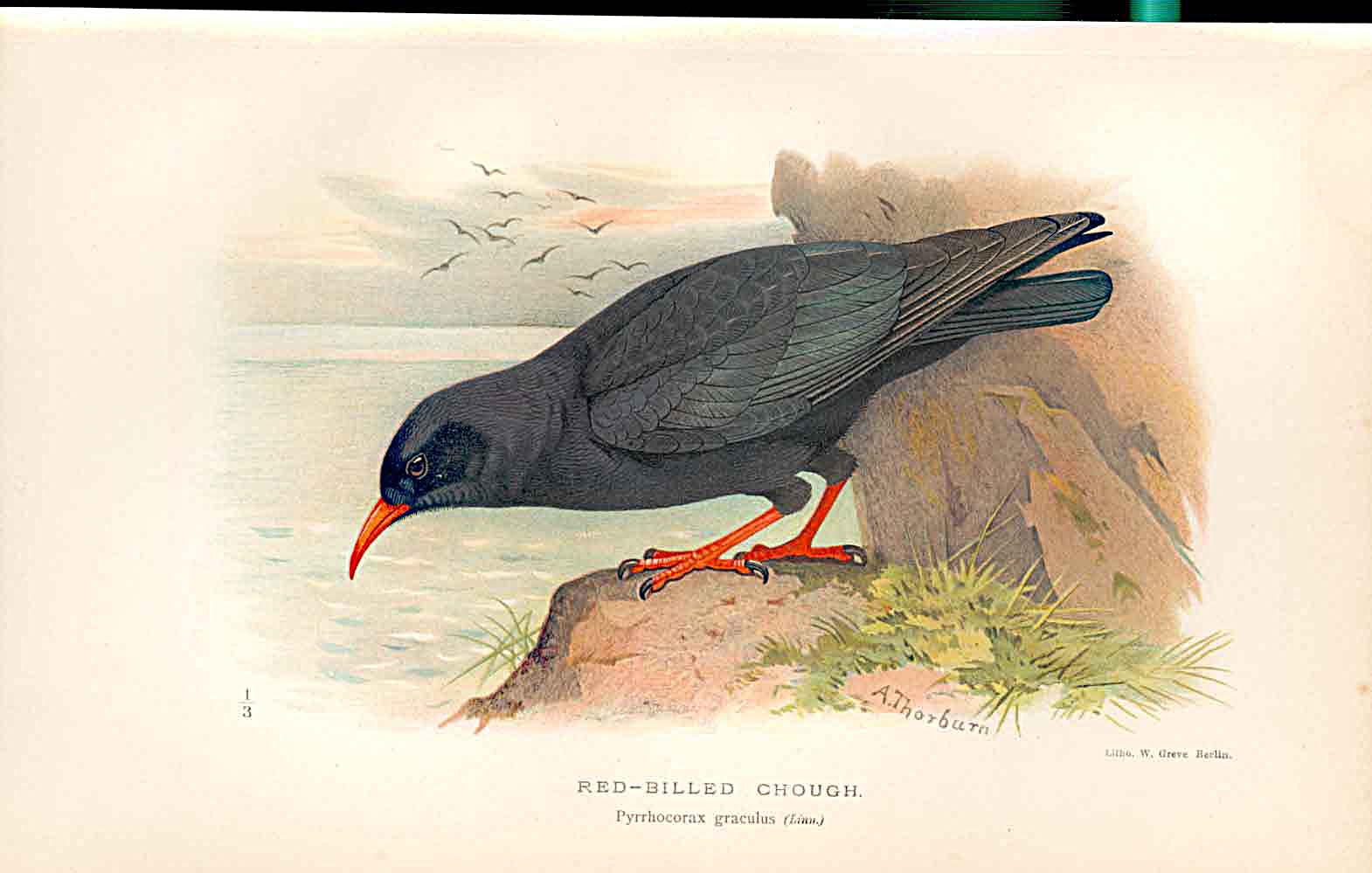 Print Red Billed Gough Lilfords Birds 1885-97 By A Thorburn 249011 Old Original