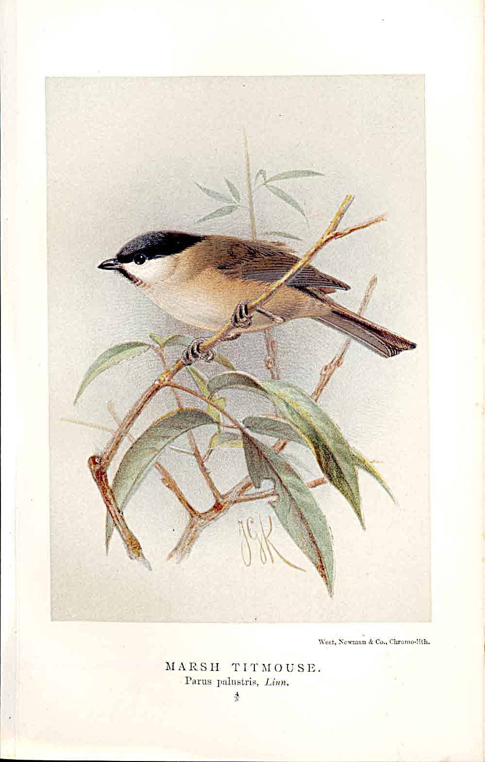 Print Marsh Titmouse Lilford Birds 1885-97 By J G Keulemans 499011 Old Original