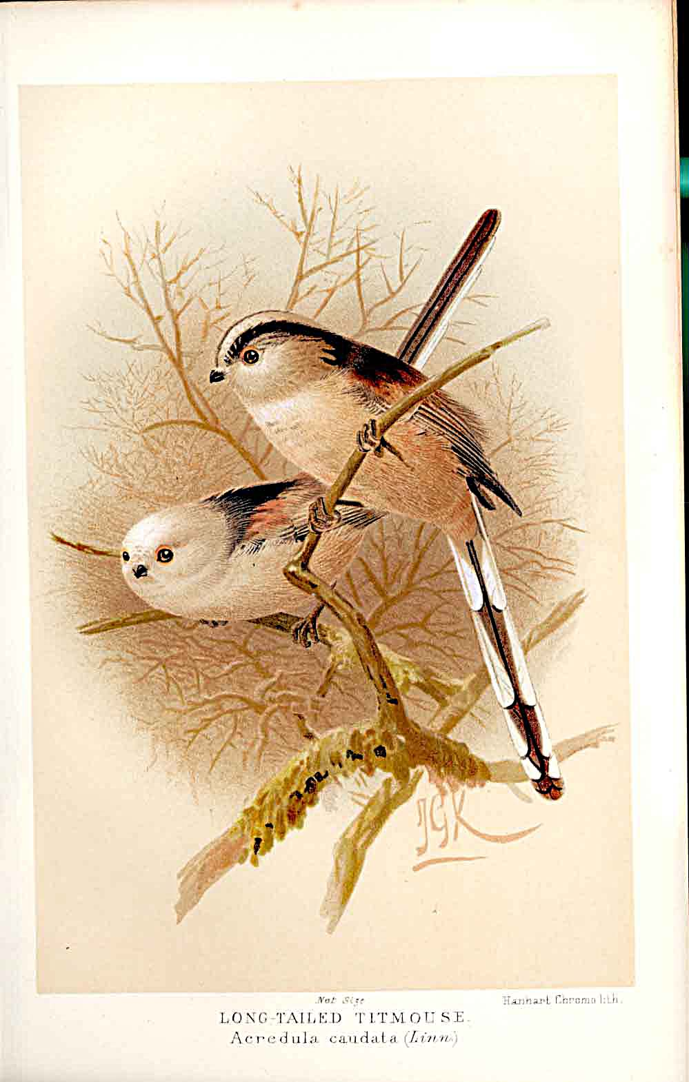 Print Long Tailed Titmouse 1885-97 By J G Keulemans 519011 Old Original