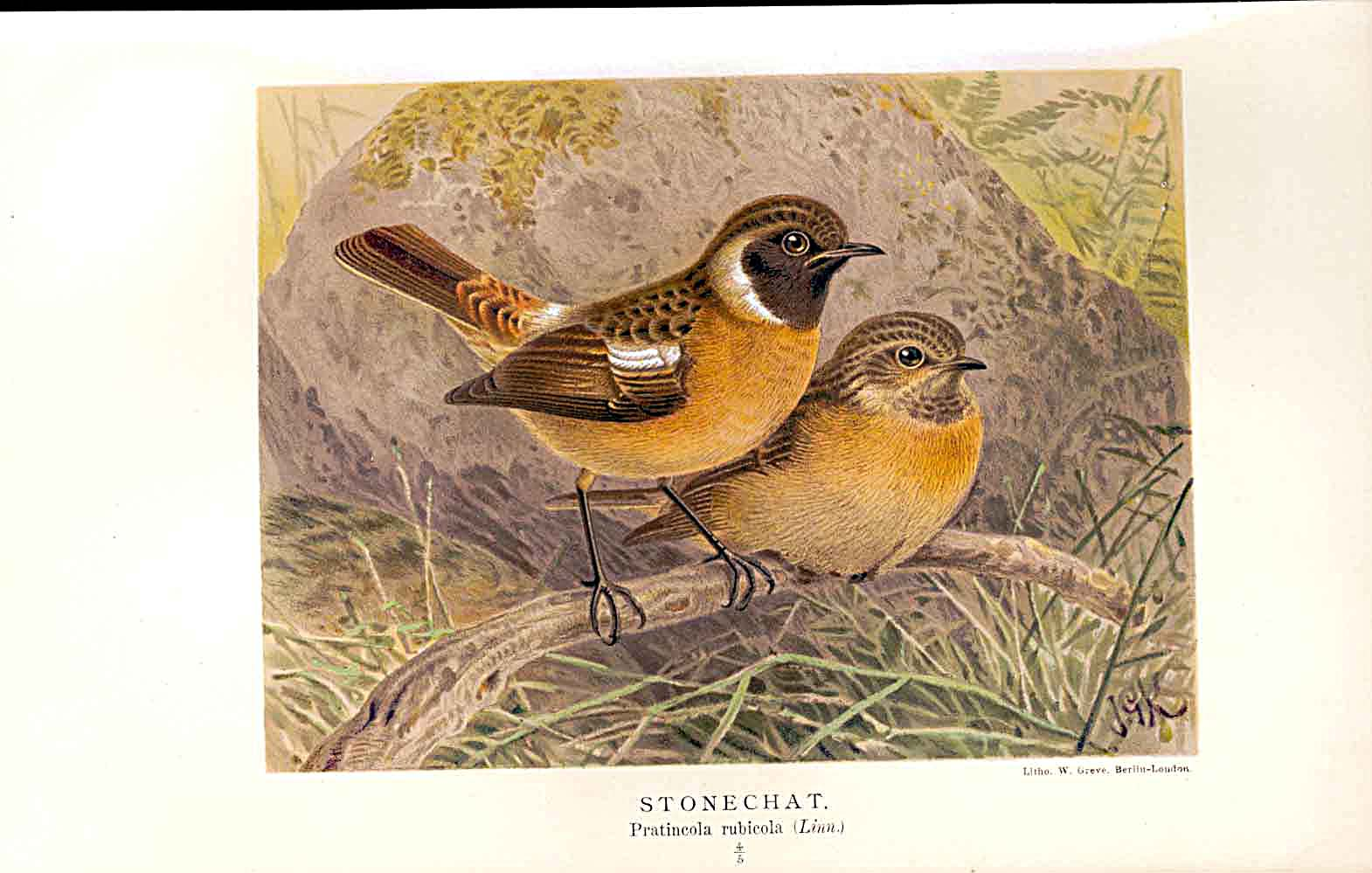 Print Stonechat Lilford Birds 1885-97 By J G Keulemans 099011 Old Original