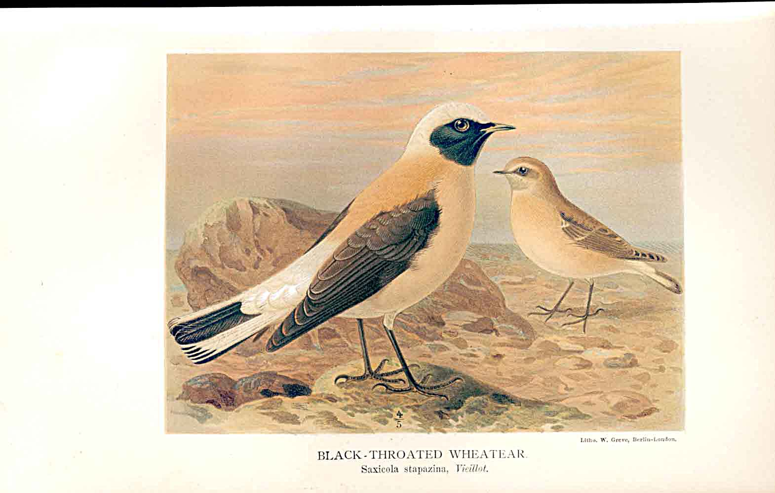 Print Black Throated Wheatear By Keulemans 1855-97 Birds 139011 Old Original