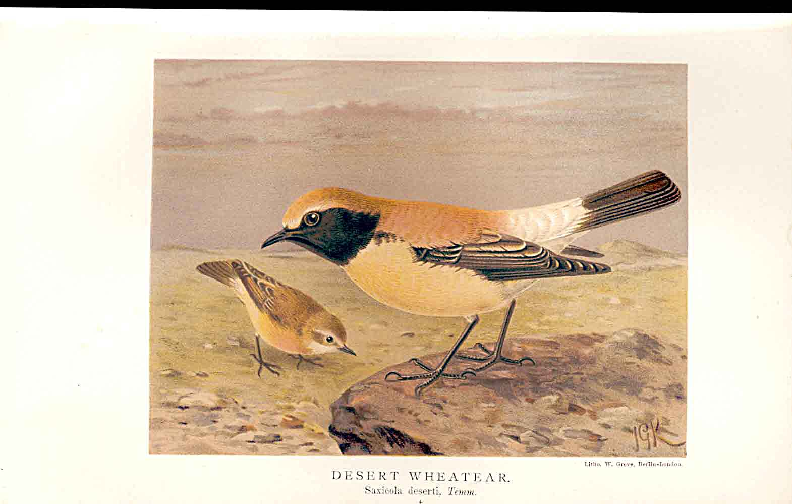 Print Desert Wheatear Lilford Birds 1885-97 By J G Keulemans 149011 Old Original