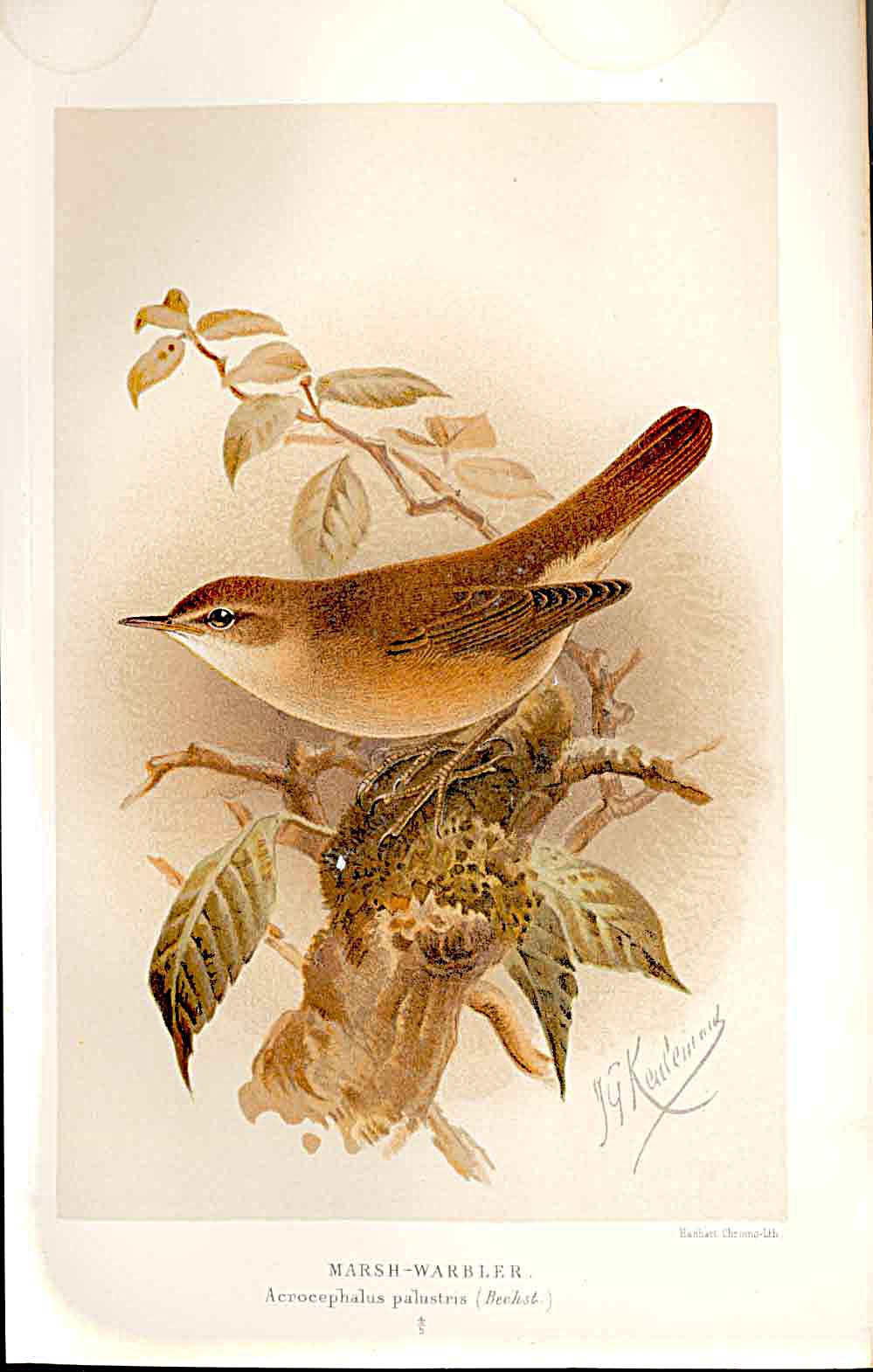 Print Marsh Warbler Lilford Birds 1885-97 By J G Keulemans 199011 Old Original
