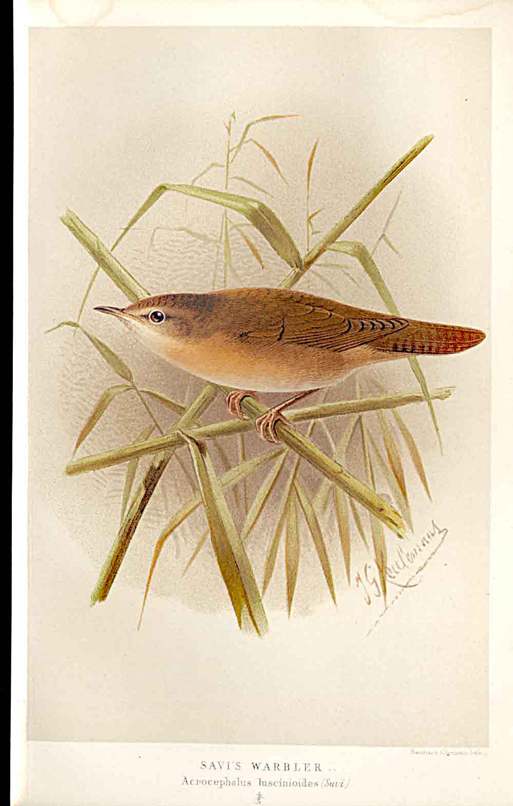 Print Savi'S Warbler Lilford Birds 1885-97 By J G Keulemans 239011 Old Original