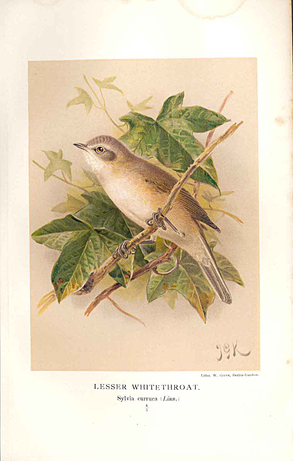 Print Lesser Whitethroat By Keulemans 1855-97 Birds 269011 Old Original