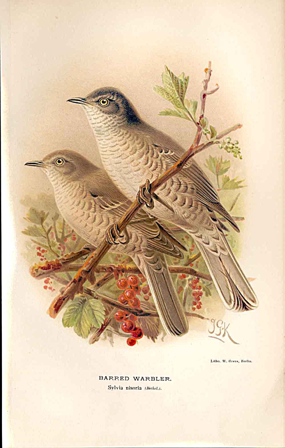 Print Barred Warbler Lilford Birds 1885-97 By J G Keulemans 309011 Old Original