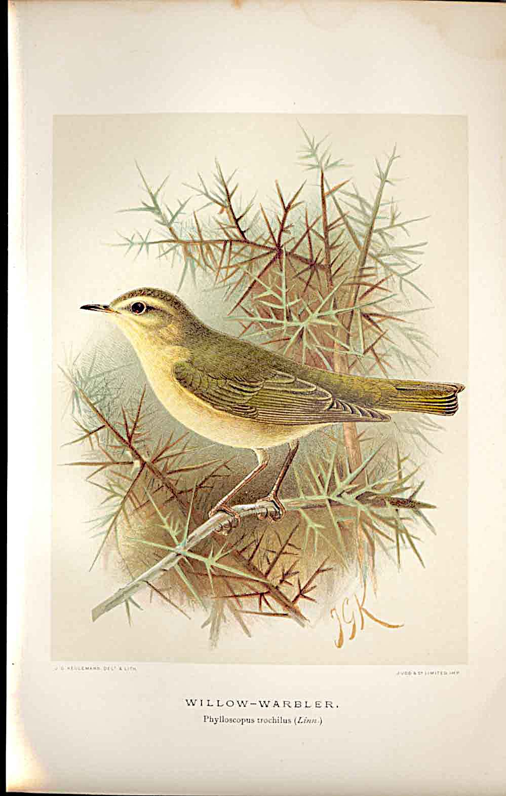 Print Willow Warbler Lilford Birds 1885-97 By J G Keulemans 329011 Old Original