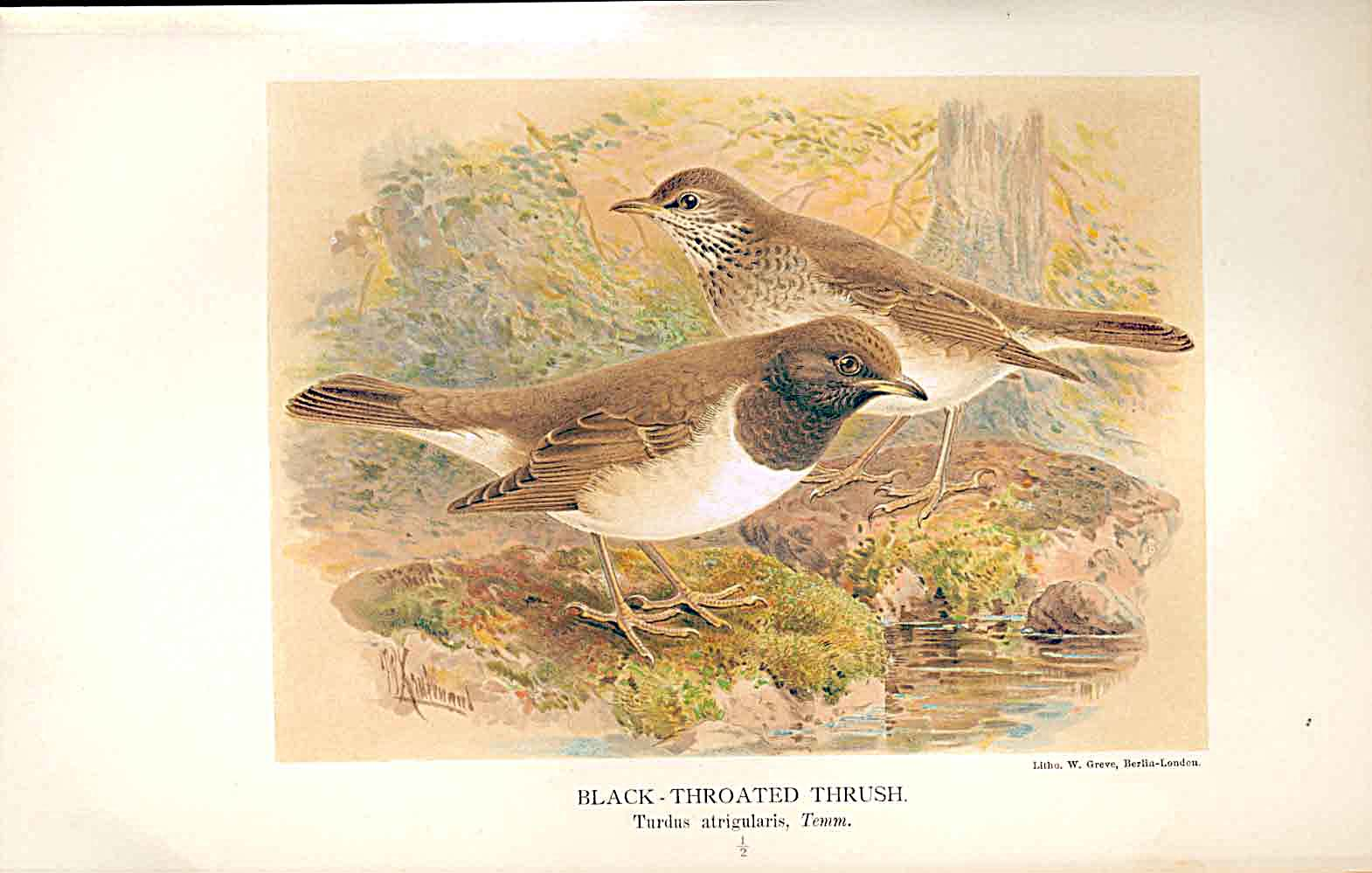 Print Black Throated Thrush By Keulemans 1855-97 Birds 449011 Old Original
