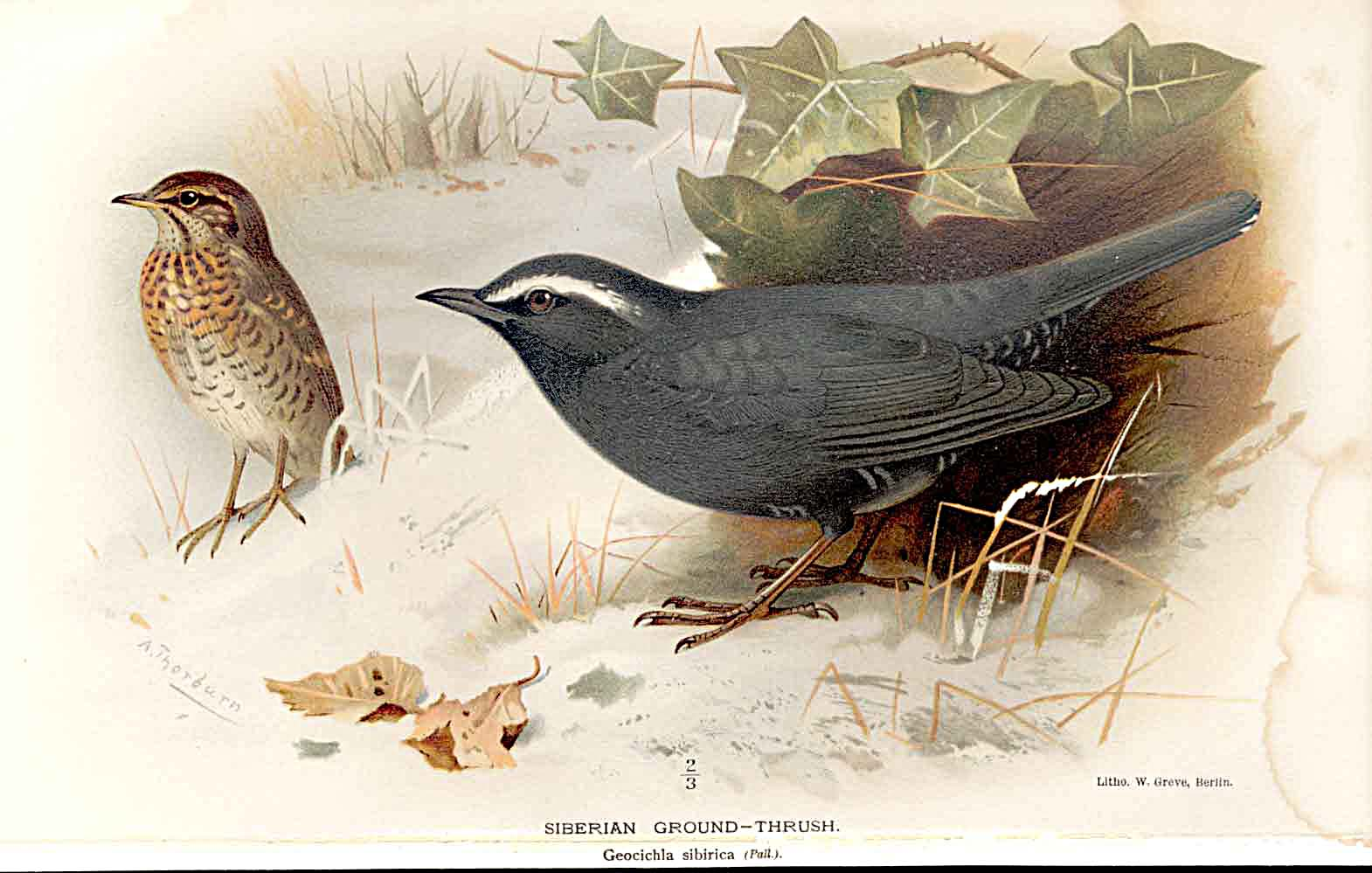 Print Siberian Ground Thrush By Thorburn Birds 1855-97 459011 Old Original