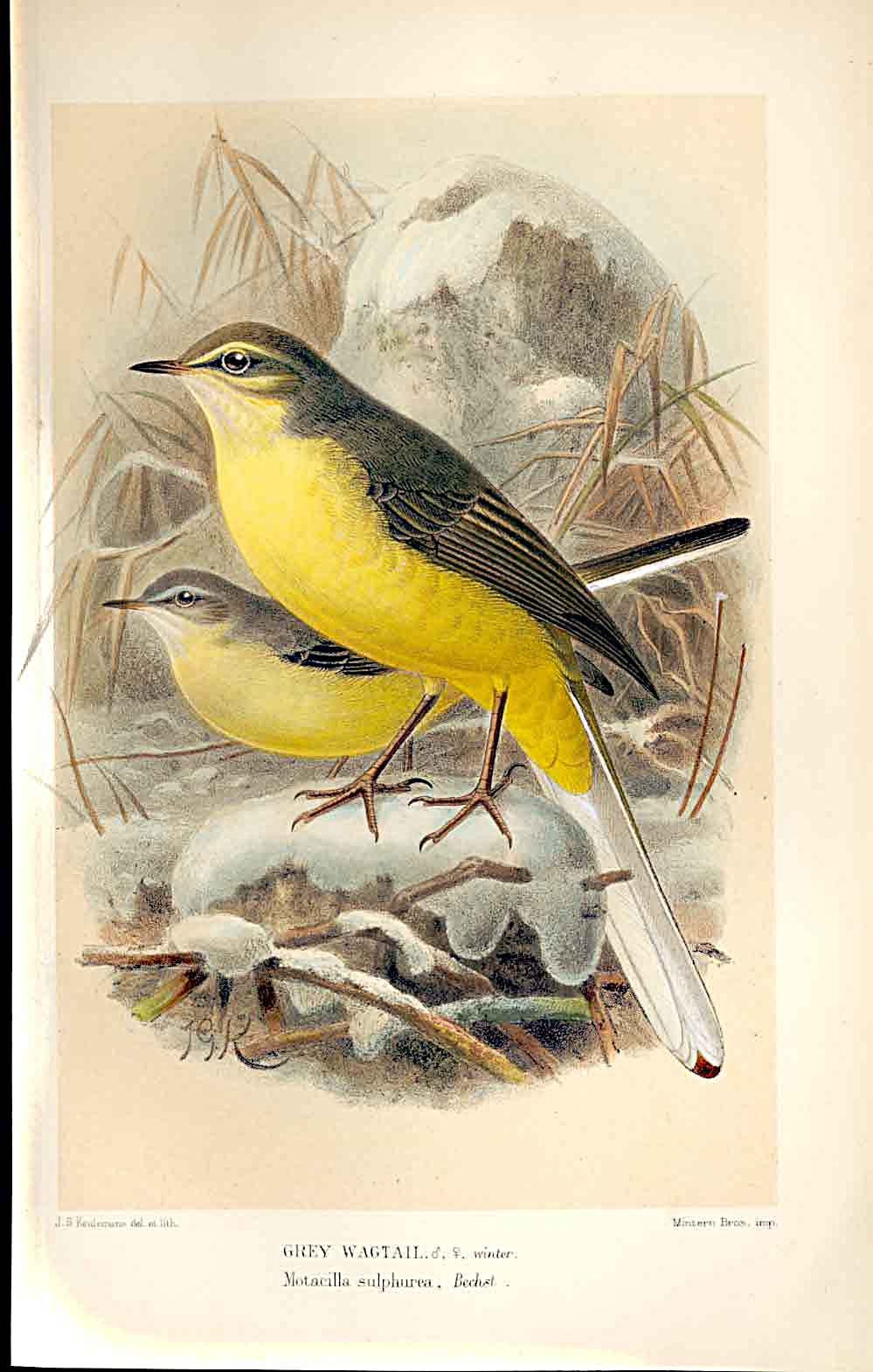 Print Grey Wagtail *2 Lilford Birds 1885-97 By J G Keulemans 569011 Old Original
