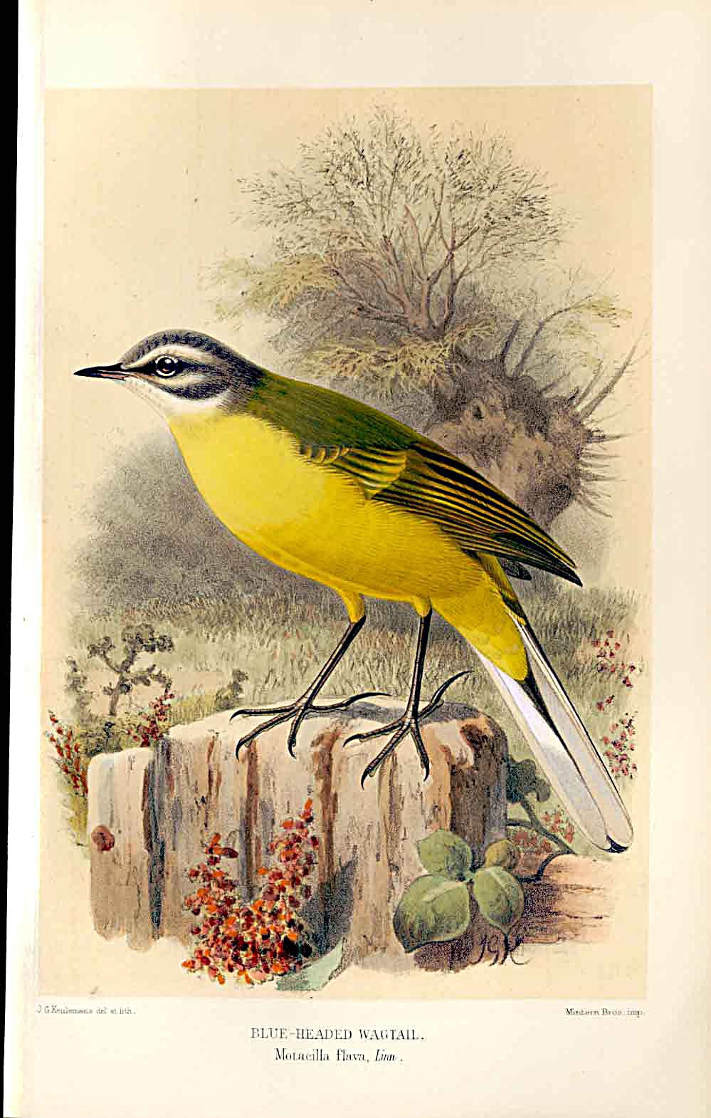 Print Grey Headed Yellow Wagtail By Thorburn Birds 1855-97 579011 Old Original
