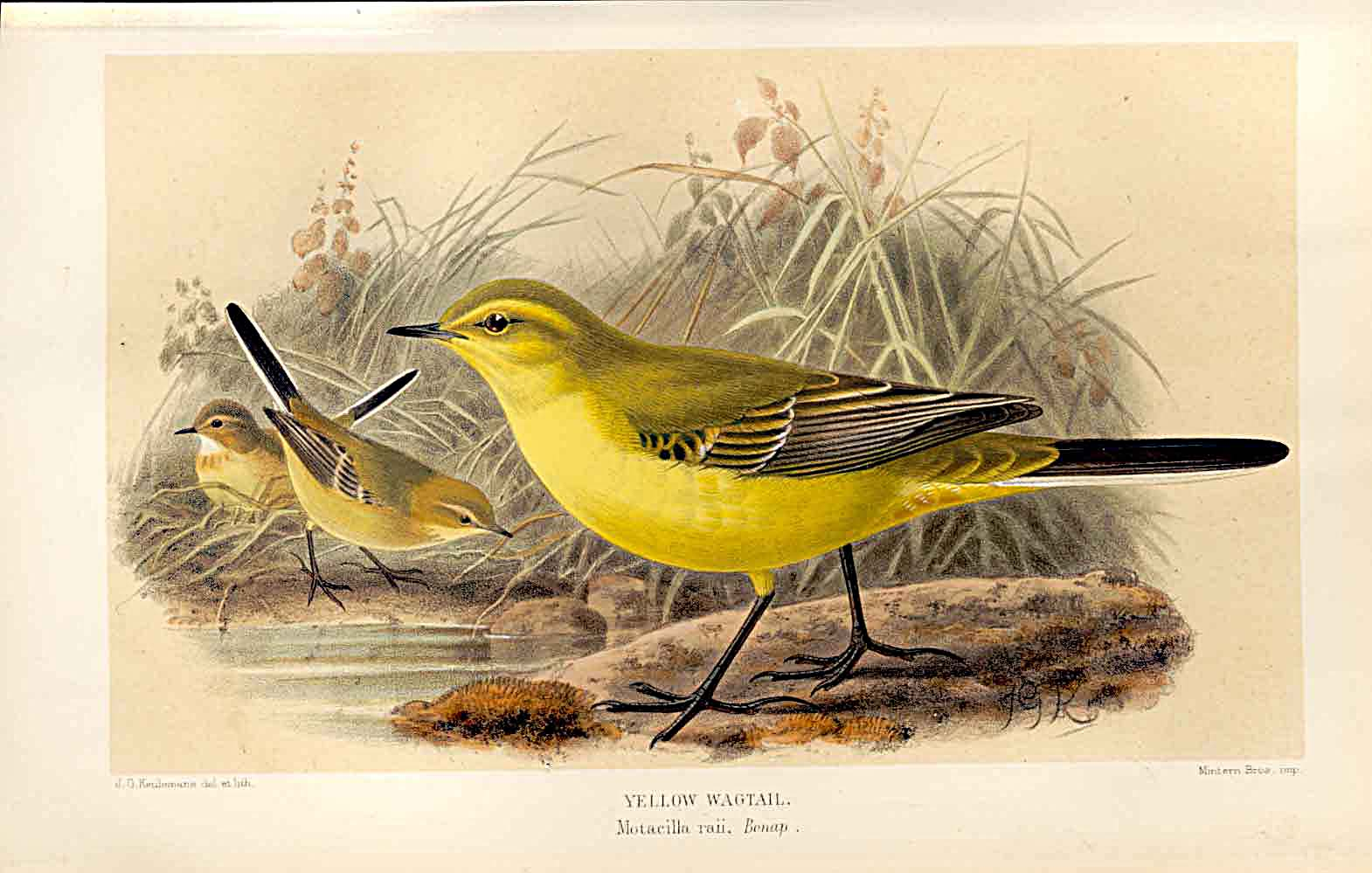 Print Yellow Wagtail Lilford Birds 1885-97 By J G Keulemans 599011 Old Original