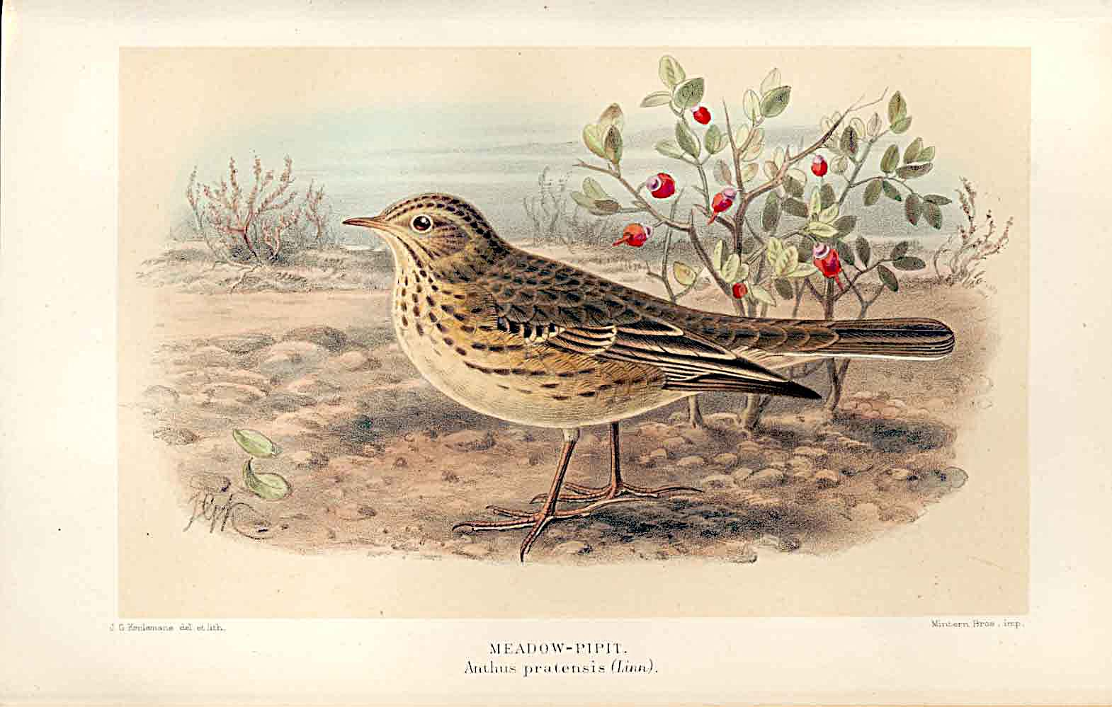 Print Meadow Pipit Lilford Birds 1885-97 By J G Keulemans 619011 Old Original
