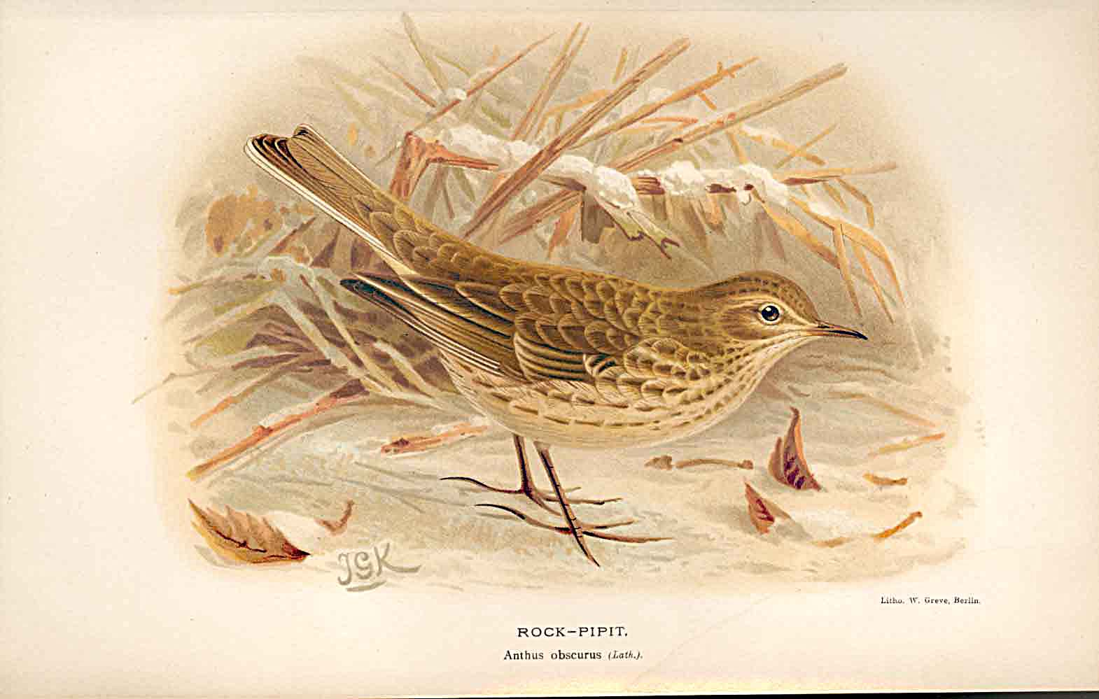 Print Rock Pipit *2 Lilford Birds 1885-97 By J G Keulemans 659011 Old Original