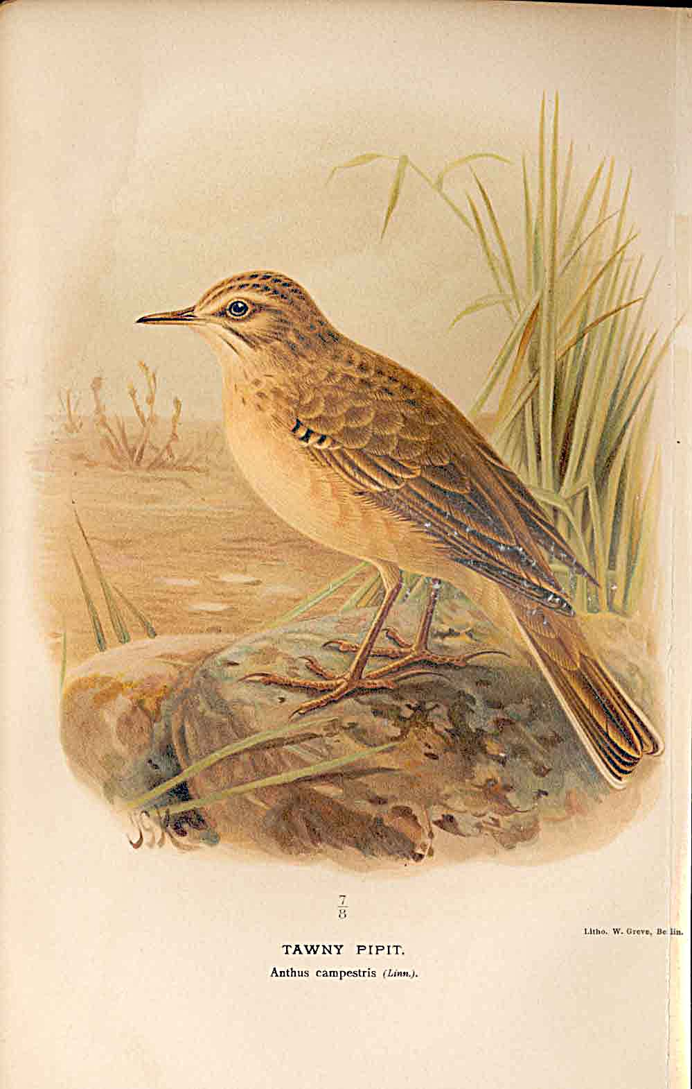 Print Tawny Pipit Lilford Birds 1885-97 By J G Keulemans 669011 Old Original