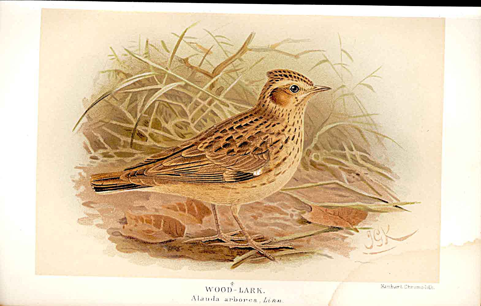 Print Wood Lark Lilford Birds 1885-97 By J G Keulemans 039011 Old Original