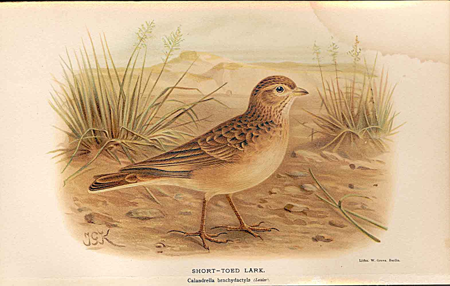 Print Short Toed Lark Lilford Birds 1885-97 By J G Keulemans 049011 Old Original