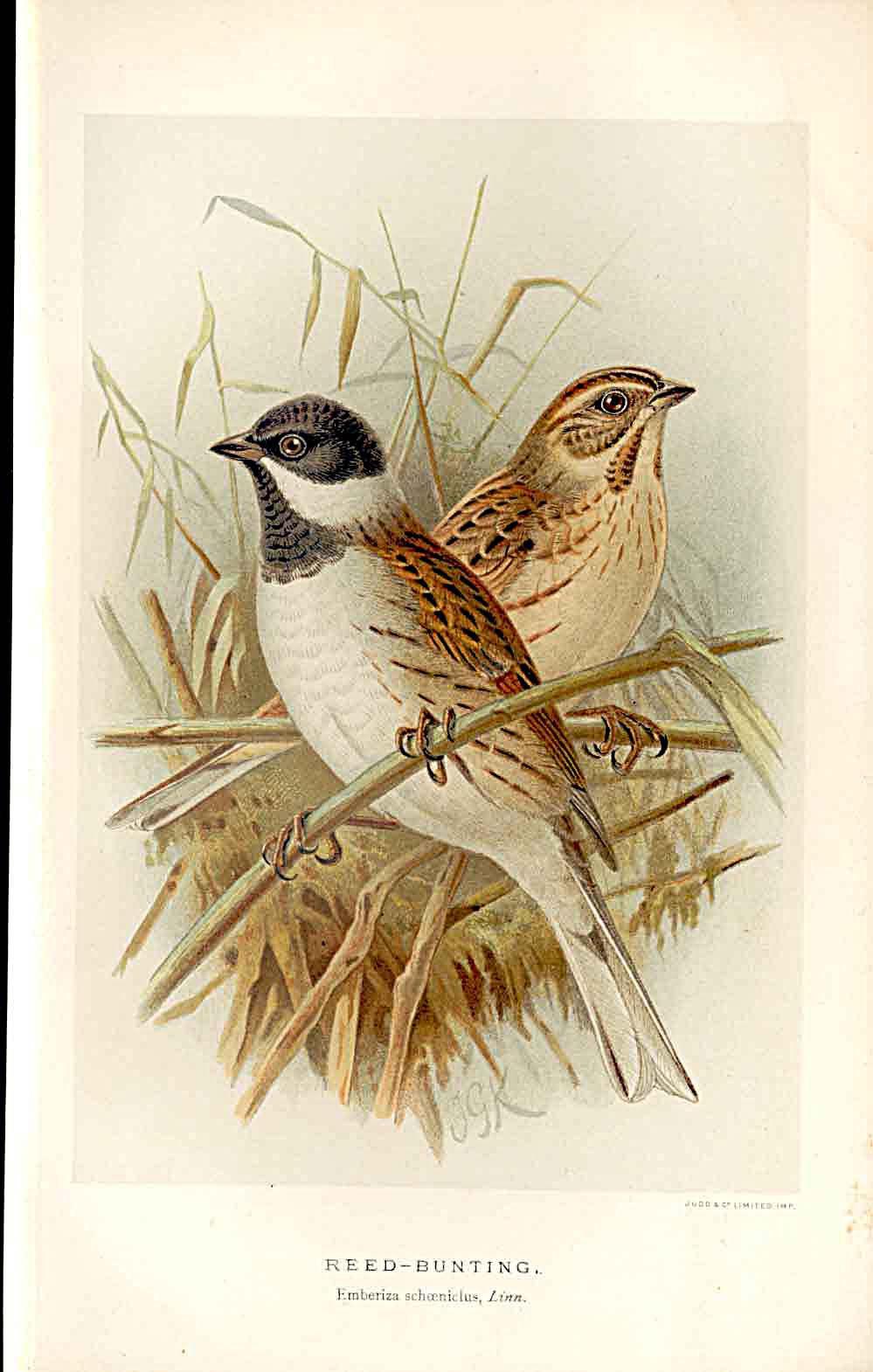 Print Reed Bunting Lilford Birds 1885-97 By J G Keulemans 099011 Old Original