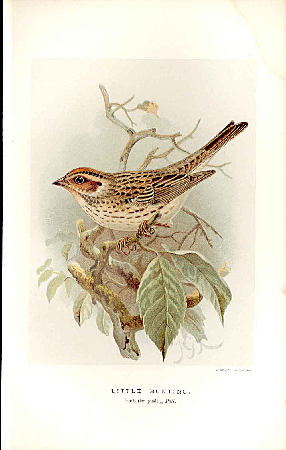 Print Little Bunting Lilford Birds 1885-97 By J G Keulemans 119011 Old Original