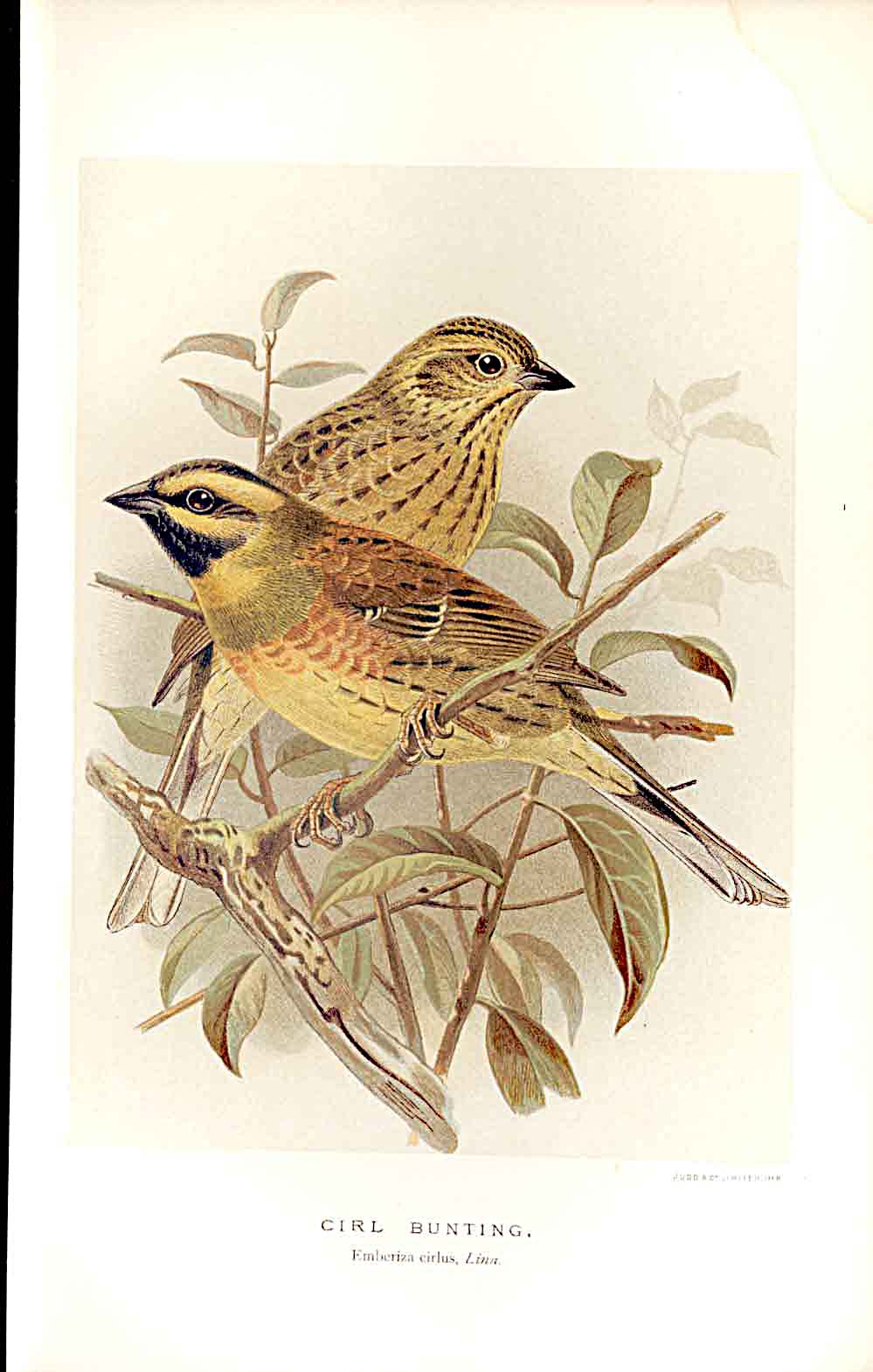 Print Cirl Bunting Lilford Birds 1885-97 By J G Keulemans 149011 Old Original