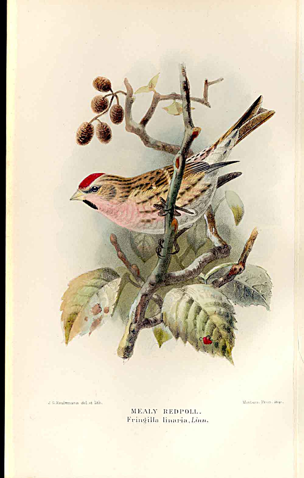 Print Mealy Redpole Lilford Birds 1885-97 By J G Keulemans 279011 Old Original