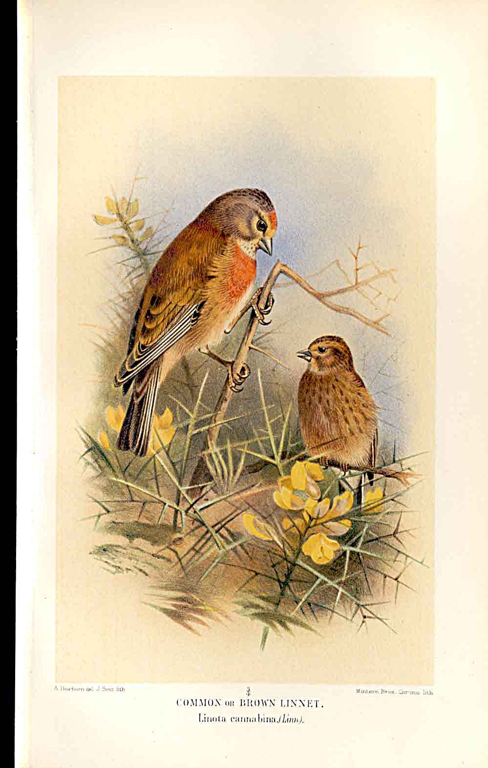 Print Brown Linnet Lilfords Birds 1885-97 By A Thorburn 309011 Old Original